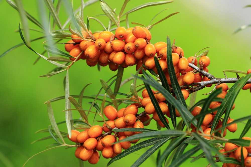 Sea buckthorn - ingredients, healing properties and tips for your own cultivation