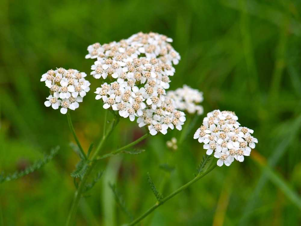 Yarrow - effect and application