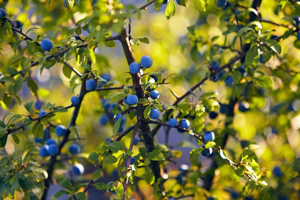 Sloe - effect, application and planting