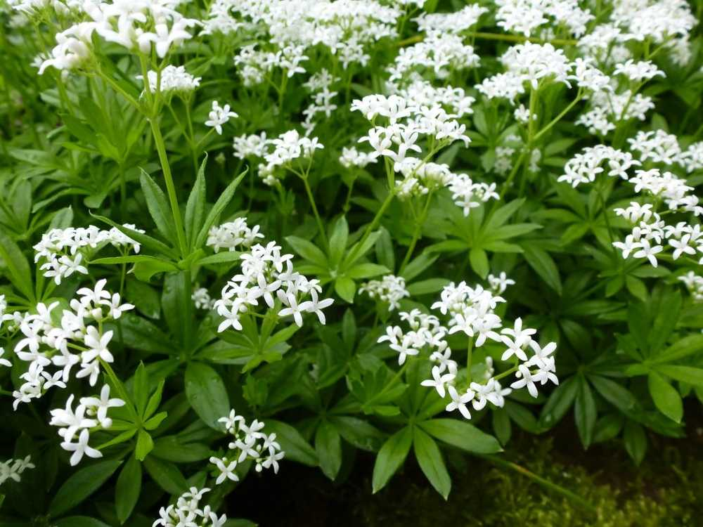 Woodruff - effect, use and cultivation