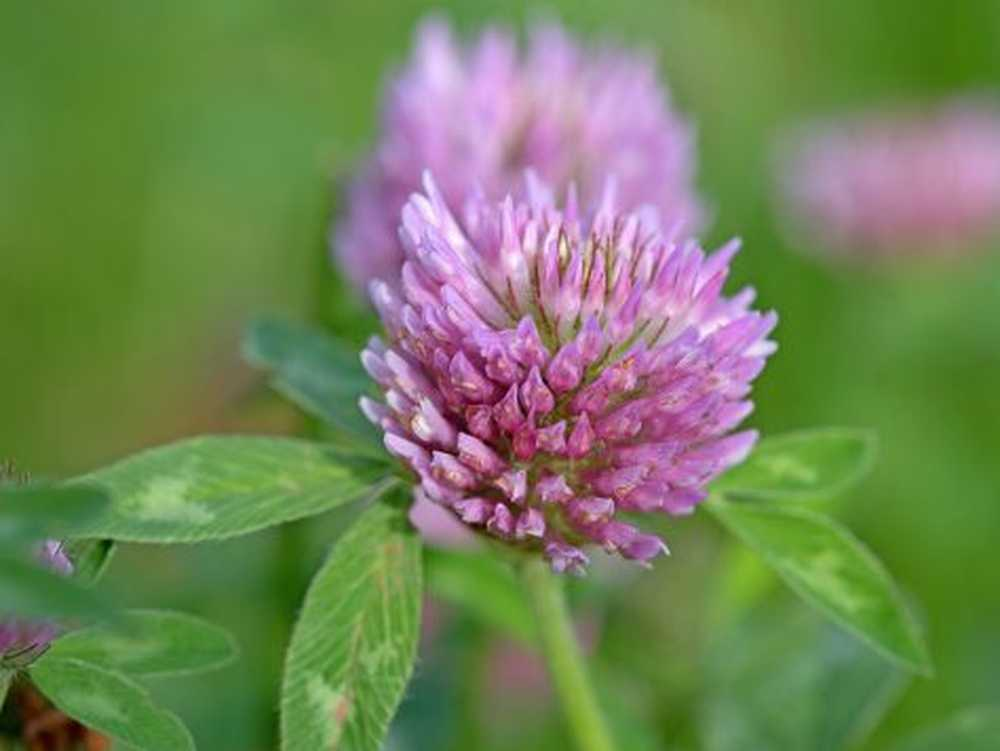 Meadow clover - healing effect, use and cultivation in the own garden