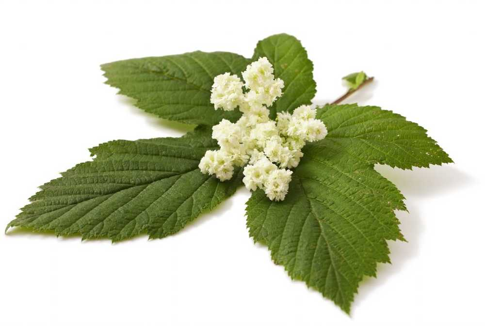 Meadow queen - meadowsweet active ingredients, application and own cultivation