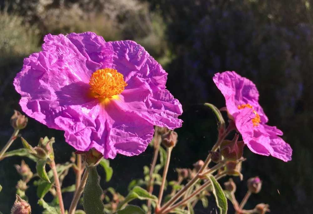Cistus - use, ingredients and effects /